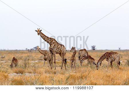 Heard Of Giraffa Camelopardalis