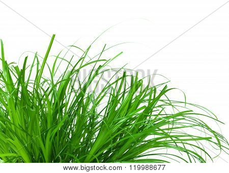 juicy grass exempted against a white background