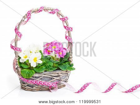 Flower Basket With Primroses And Ribbon