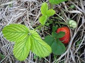 image of strawberry plant  - big ripe strawberry from the organic garden - JPG