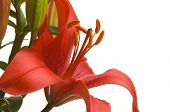 pic of asiatic lily  - Beautiful Asiatic Lily Bloom on a White Background - JPG