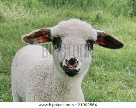 Lamb en face