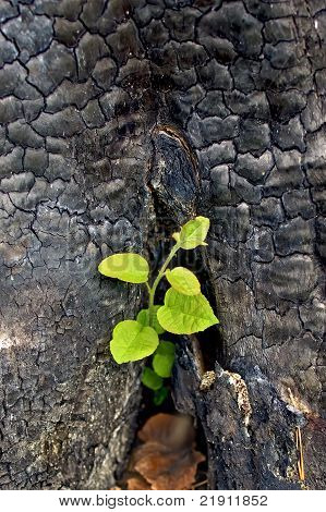 Sapling From The Charred Stump