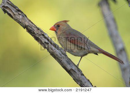 Northern Cardinal _Mg_1408