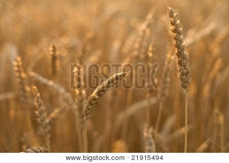 Wheat head