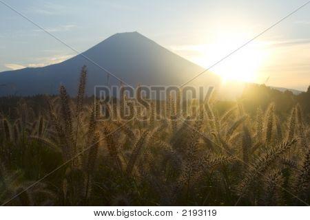 Foxtail Grass V