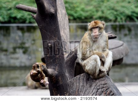 Mum Baboon With Baby Baboon Playing
