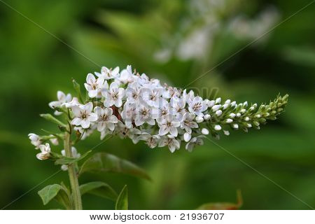 White Gooseneck Flower