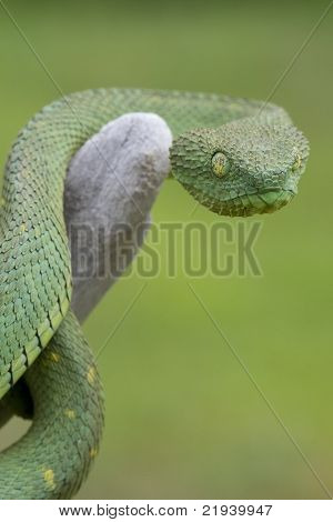 African Hairy Bush Viper (Atheris squamigera)