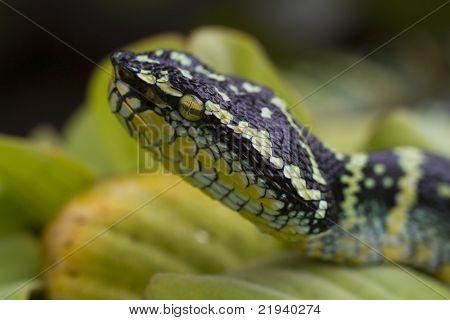 Temple viper (Tropidolaemus wagleri)