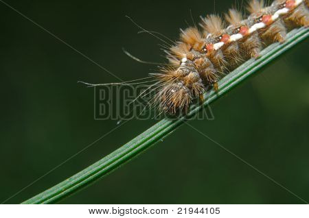 Caterpillar of Acronicta rumicis ( Knot Gras )