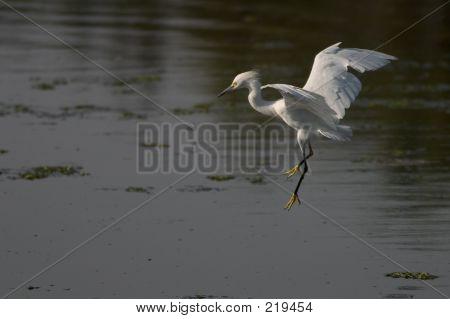 Egret Preparing To Land