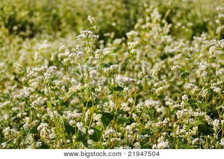 flor campo de trigo mourisco