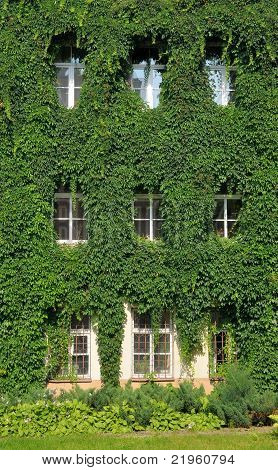House Wall Twined Wild Grapes