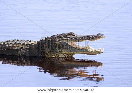 Alligator in the wild at Myakka Lake
