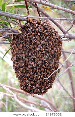 Honeybee swarm hanging from a branch