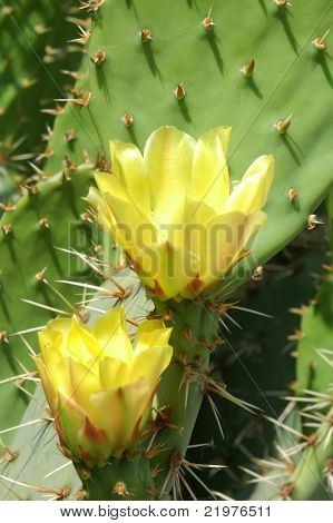 Yellow Prickly Pear Cactus Flowers