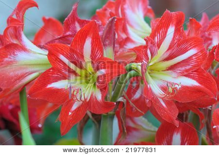 A close up of a cluster of Minerva Amaryllis flowers.
