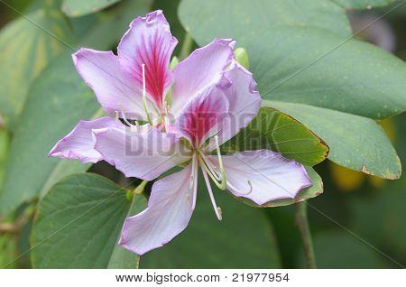 Cerca de las flores y las hojas de la Fabacea White Orchid Tree (Bauhinia Variegata Cv. cándida)