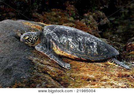 Resting Hawaiian Green Sea Turtle