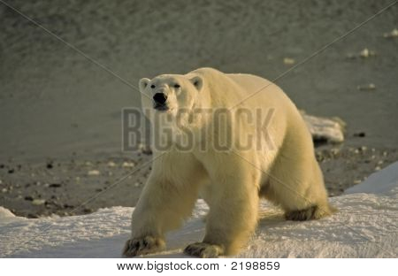Polar Bear On Shore Of Hudson'S Bay