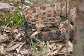 stock photo of timber rattlesnake  - This large timber rattlesnake was photographed in Jackson County Missouri - JPG