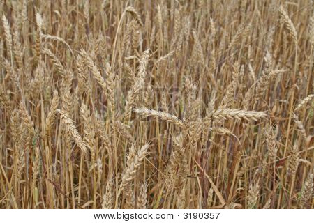 Wheat Field Close Up