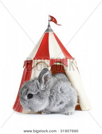 Gray rabbit bunny baby exit from red white tent house