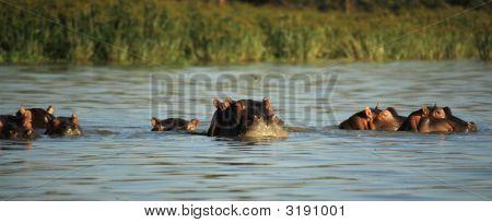 Hippos Surfacing