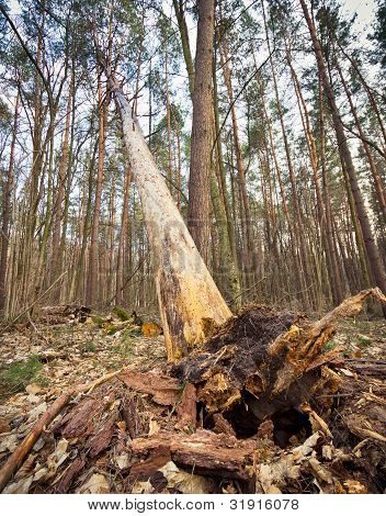 Fallen Tree With Protruding Roots