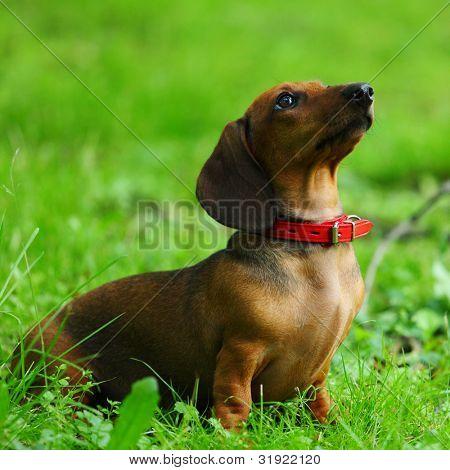 dachshund on green grass close up