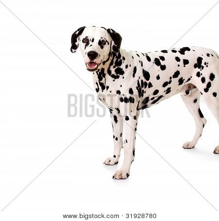 Dalmatian Standing In Front Of White Background.