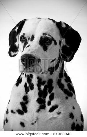 Dalmatian Portrait.