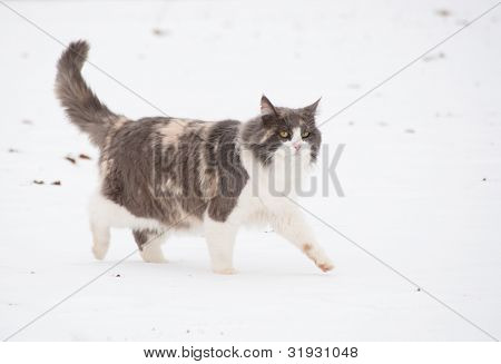 Long haired diluted calico cat walking in snow