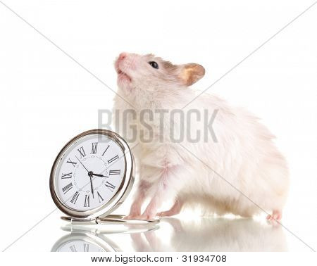 Cute hamster and clock isolated white