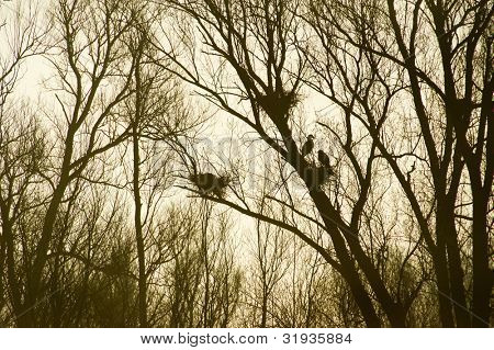 Heronry in trees in nature with backlight in early morning