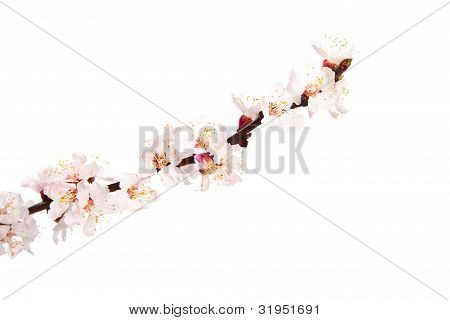 Blooming Sprig Of Almond.