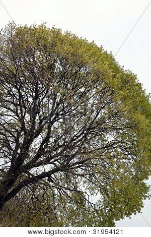 European Tree