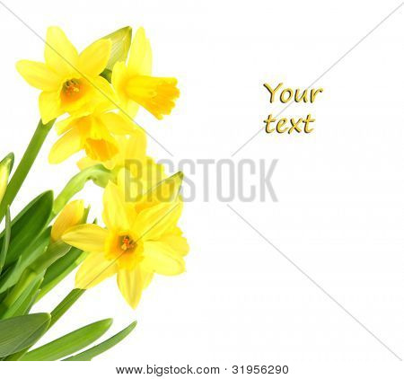 Yellow narcissus isolated on white