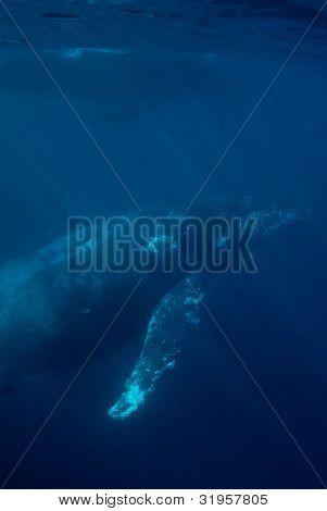 Duas baleias jubarte perto de superfície