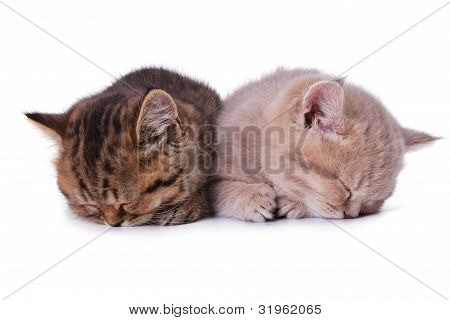 Two British Kitten Sleep