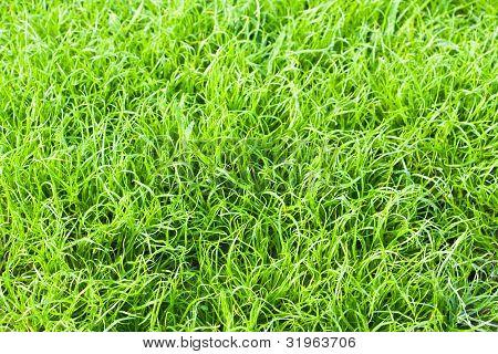 Green Grass Texture Close Up