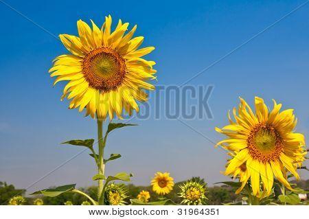 Sunflowers on blue sky