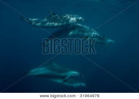 Vagem de Pantropical Spotted golfinhos perto de superfície
