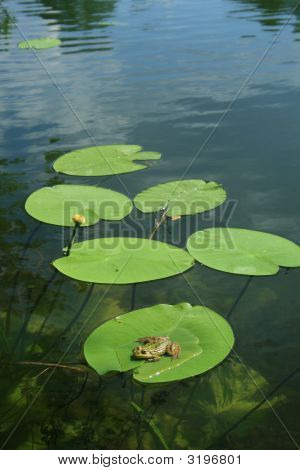 Frog On The Waterlily