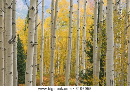 Autumn Aspens