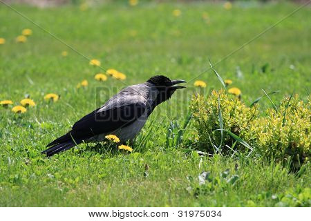 Crow among the dandelions and grass