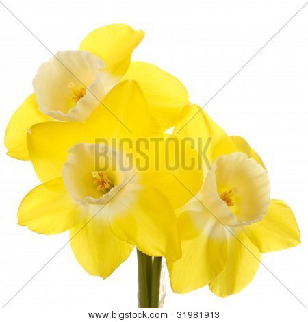 Three Yellow And White Jonquil Flowers Against A White Background