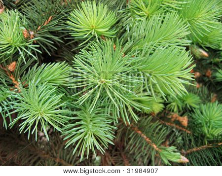 Pine Branches With Young Runaways