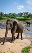 Asian Elephants At Pinnawala Elephant Orphanage, Sri Lanka Here Is Nursery And Captive Breeding Grou poster